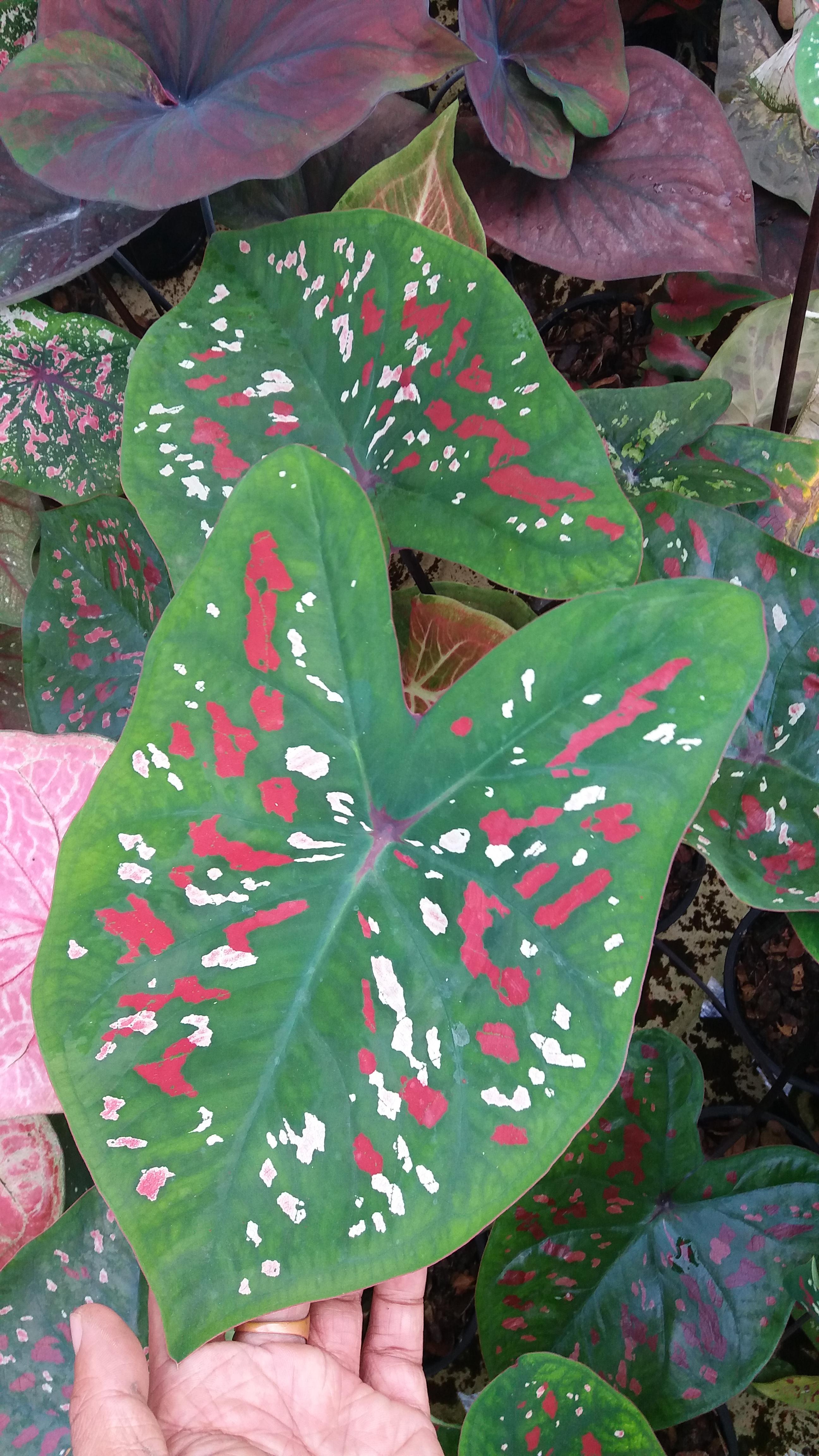 ต้นบอนสี พลอยแดง แผลง ขนาดกระถาง6นิ้ว