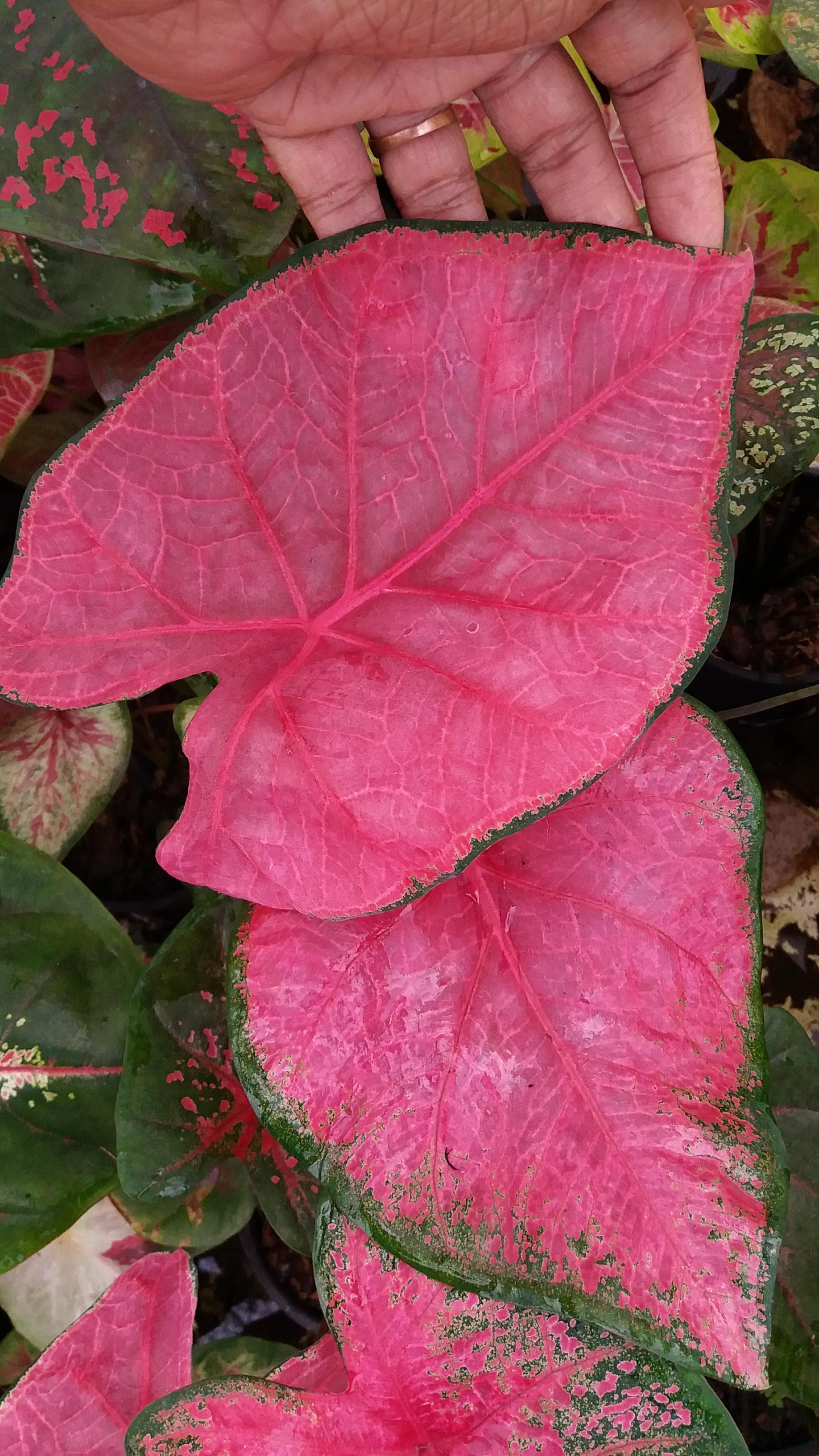 ต้นบอนสี ลูกม่านนางพิมพ์ ขนาดกระถาง6นิ้ว