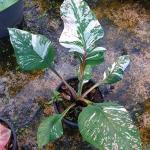 ต้นบอนสี ลูกผสมใหม่ GW000 ขนาดกระาง6นิ้ว / Caladium from seed.