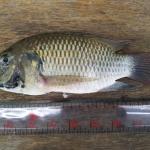 หวั่นปลาหมอสีคางดำทำอาชีพนาเลี้ยงกุ้งล่มสลาย แพร่พันธุ์เร็ว-กินลูกกุ้งลูกปลาเกลี้ยงบ่อ เกษตรกรโวยหน่วยงานรัฐเมินแก้ปัญหา ผู้เชี่ยวชาญจี้กรมประมงเปิดข้อมูลเอกชนนำเข้า
