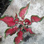 ต้นบอนสี ท้าวพันตา ขนาดกระถาง6นิ้ว thumbnail 1