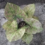 เมล็ดบอนสี ลูกไม้เม็ด+แม่น้ำตาปี 100 เมล็ด / Caladium seeds.100 seeds. thumbnail 3