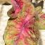 หัวบอนสี New hybrids 012 thumbnail 2
