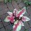 ต้นบอนสี เทพเทวฤทธิ์ ขนาดกระถาง6นิ้ว thumbnail 1