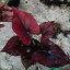 ต้นบอนสี ตะวันชิงพลบ ขนาดกระถาง6นิ้ว thumbnail 1