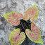 ต้นบอนสี เหลืองเบญจภาคี ขนากระถาง6นิ้ว thumbnail 1