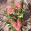 ต้นบอนสี แดงวัว แตกหน่อ ขนาดกระถาง6นิ้ว thumbnail 1