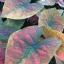 ต้นบอนสี ม่านเมฆ ขนาดกระถาง6นิ้ว thumbnail 1