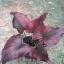 ต้นบอนสี ทุ่งเศรษฐี ขนาดกระถาง6นิ้ว thumbnail 1