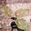 ต้นบอนสี อู่ทอง ขนาดกระถาง6นิ้ว thumbnail 1