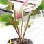 ต้นบอนสี หอกสัตตโลหะ (หอกของไกรทอง) ขนาดกระถาง6นิ้ว thumbnail 5