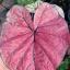 เมล็ดบอนสี ลูกไม้ใบกลม+พลอยแดง 100 เมล็ด / Caladium seeds.100 seeds. thumbnail 2