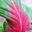 ต้นบอนสี หอกสัตตโลหะ (หอกของไกรทอง) ขนาดกระถาง6นิ้ว thumbnail 2