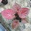 ต้นบอนสี รัตนบุรี ขนาดกระถาง6นิ้ว thumbnail 1