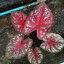 เมล็ดบอนสี ลูกไม้2เม็ด+ลูกไม้สีหวาน 100 เมล็ด / Caladium seeds.100 seeds. thumbnail 2