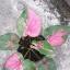 ต้นบอนสี นารีบูรพา ขนาดกระถาง6นิ้ว thumbnail 1