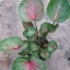 ต้นบอนสี อรุณชนะ ขนาดกระถาง6 นิ้ว thumbnail 1