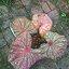 ต้นบอนสี จ.กำแพงเพชร ขนาดกระถาง6นิ้ว thumbnail 2