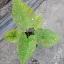 ต้นบอนสี สาวน้อยปะแป้ง ขนาดกระถาง6นิ้ว thumbnail 1
