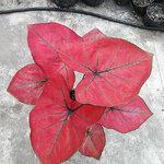 ต้นบอนสี ทับทิมบูรพา ขนาดกระถาง6นิ้ว