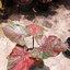 ต้นบอนสี หมอยอดเดช ขนาดกระถาง6นิ้ว thumbnail 2